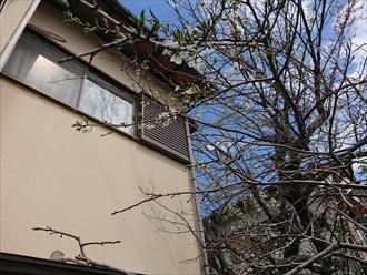 庭木が軒先にぶつかっている様子