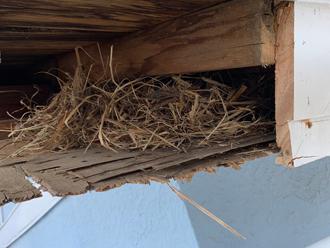 軒天に作られた鳥の巣