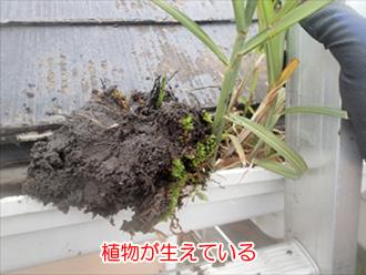 詰まった雨樋に生えた植物